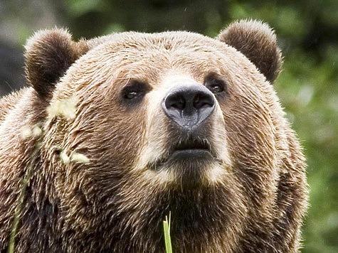 Медведь на дереве - подарок тайги