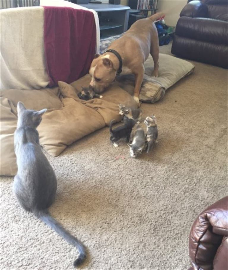 Питбуль из приюта хотел подружиться с кошкой, но она возражала! истории из жизни