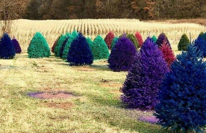 Разноцветные ели Нью-Джерси