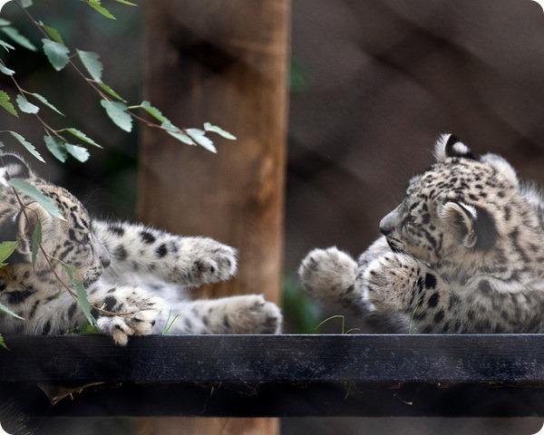 В зоопарке Сан-Франциско подрастают детеныши ирбиса