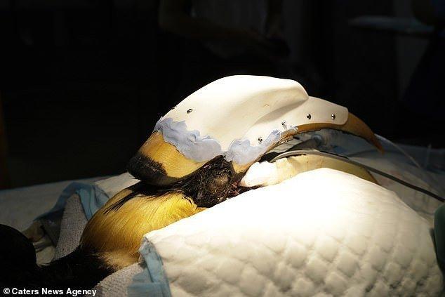 Врачи спасли экзотическую птицу, установив ей протез клюва 3d print, вот это да!, клюв, операция, протез, птица, сингапур, спасение