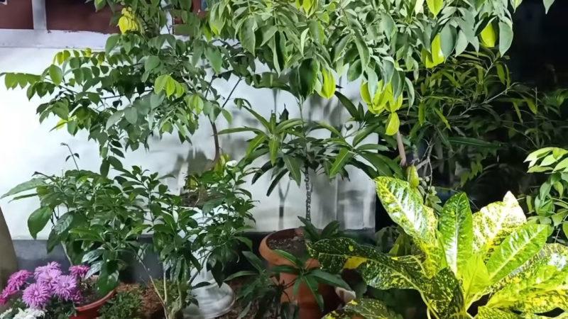 Укоренить черенок плодоносящего дерева с помощью мощного стимулятора корней от природы