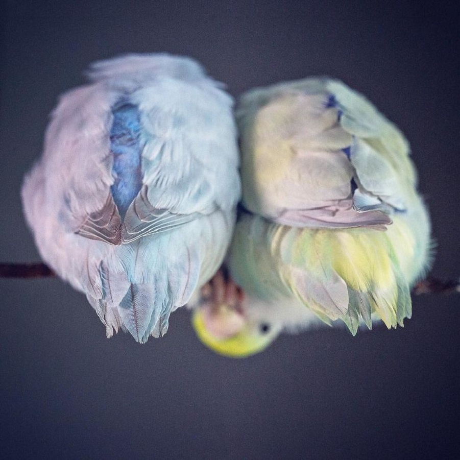 A-Storybook-Love-Between-Pastel-Parrotlets-5a83fa87efbfe__880.jpg