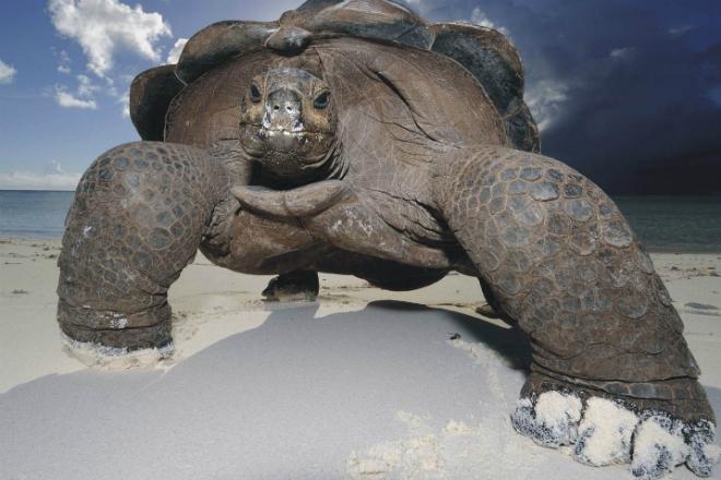 Хищная черепаха нападает на животных, птиц и даже крокодилов культура
