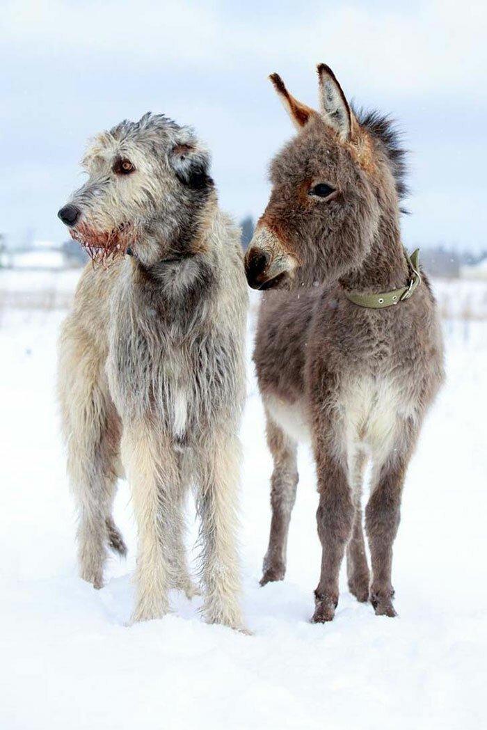 18. Они одного роста! волкодав, волкодавы, домашние питомцы, забавные собаки, собаки, собаки и дети, собаки и хозяева, фото собак