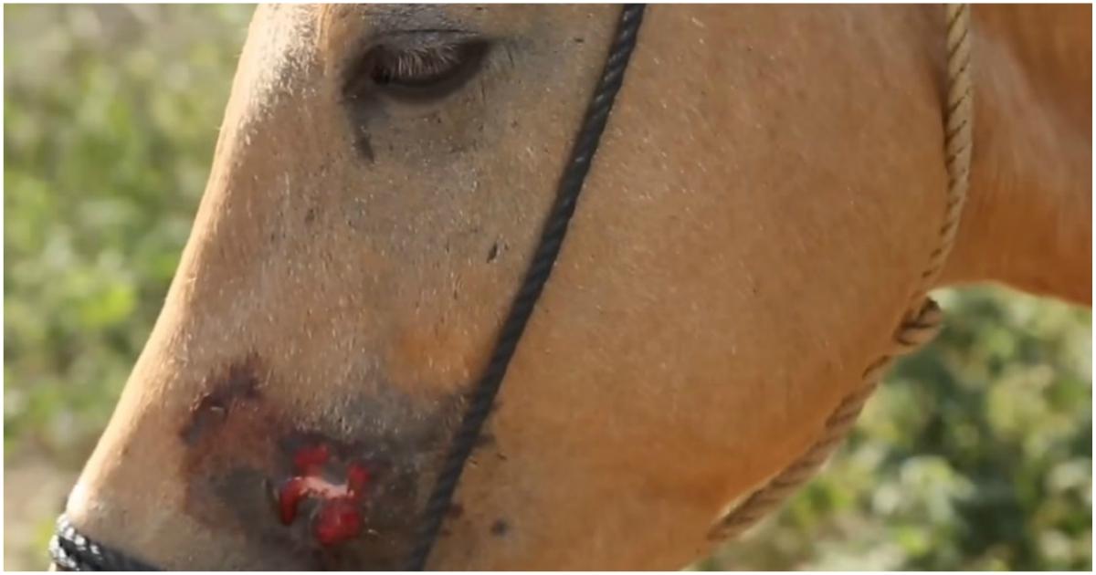 Ни ухода, ни лечения! 400 замученных лошадей жили лишь надеждой…