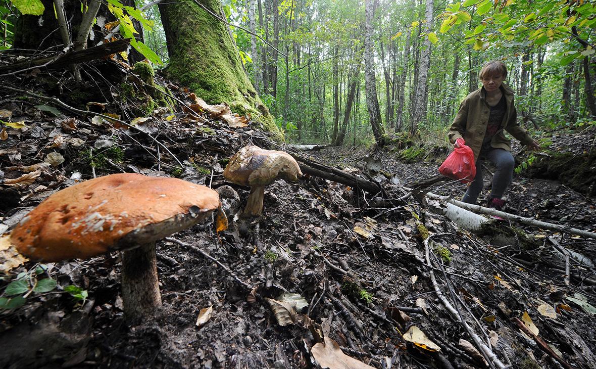 Минсельхоз захотел регулировать сбор диких ягод и грибов дикоросы,общество,россияне,сбор грибов и лесных ягод