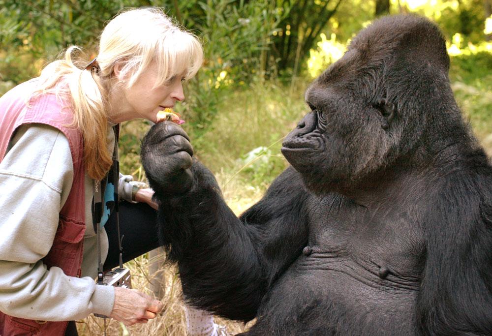 В США умерла горилла Коко, к…