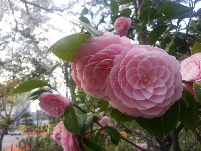 Этот цветок камелии — идеальное воплощение последовательности Фибоначчи красота, перфекционизм, симметрия