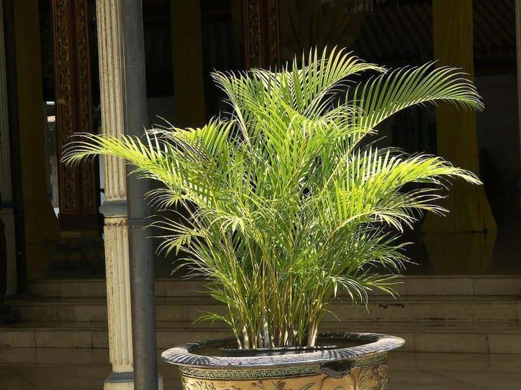 Разновидности домашних пальм с фото данной