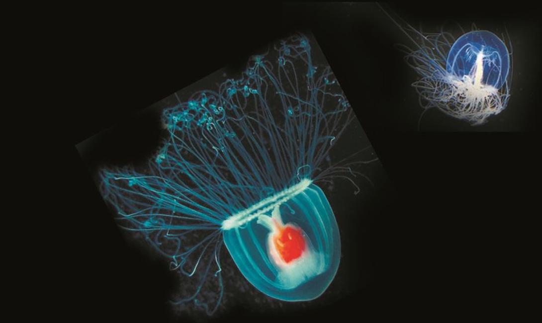 Бессмертная медуза: единственное существо, которое живет вечно