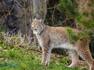 Сейчас ученые ИЦиГ работают над созданием гибрида домашней кошки и рыси