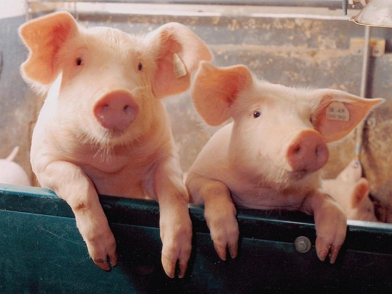 Вот почему мусульмане и евреи не едят свинину! Я всегда думал по-другому