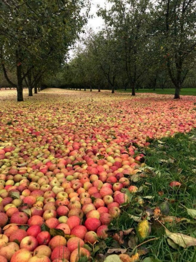 Скромный урожай яблок