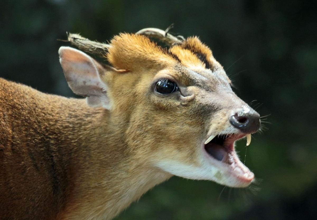 Саблезубый олень из степей охотится, ест мясо и умеет лаять как настоящая собака Культура