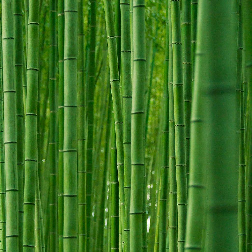 Знаменитая бамбуковая роща в Японии