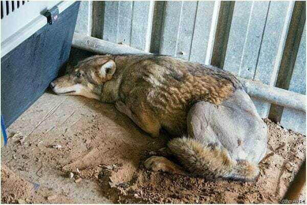 Волк попал под машину, а теп…