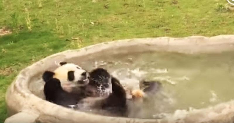 Посмотрите на панду, которая балдеет от бассейна, и ваше настроение моментально поднимется!