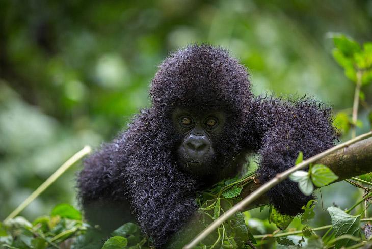 Горные гориллы: большие и вымирающие