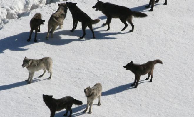 Как устроена волчья стая волк,волчья стая,животные,Как устроена волчья стая,Природа,Пространство