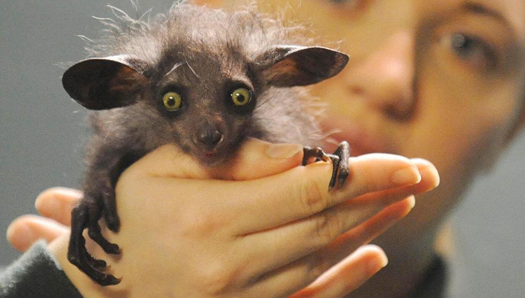 Очень редкое животное - руконожка или ай-ай - родилось в зоопарке Денвера