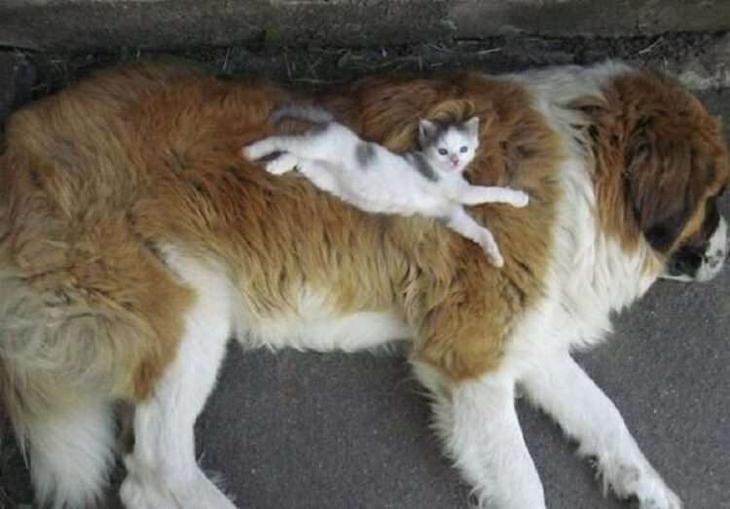 Кошки, которые настолько обнаглели, что используют собак вместо подушки