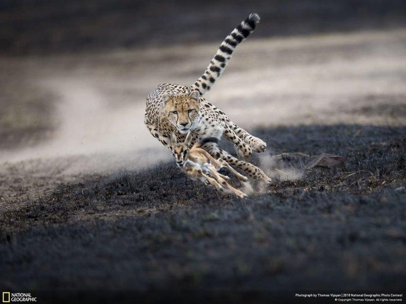 """Невероятная погоня, Томас Виджаян - победитель в категории """"Выбор читателей"""" national geographic, конкурс, красота, природа, удивительно, фото, фотография, фотоподборка"""