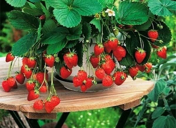 Все секреты выращивания земляники из семян