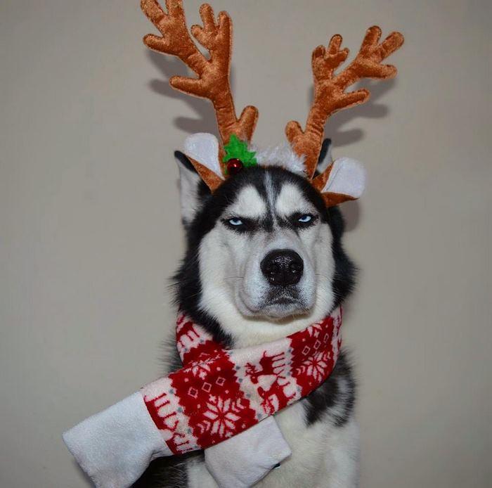 Суровый хаски, который ненавидит Рождество