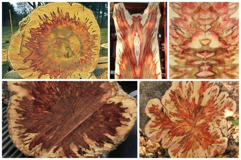 Бузина деревья, древесина, интересное, природа, факты