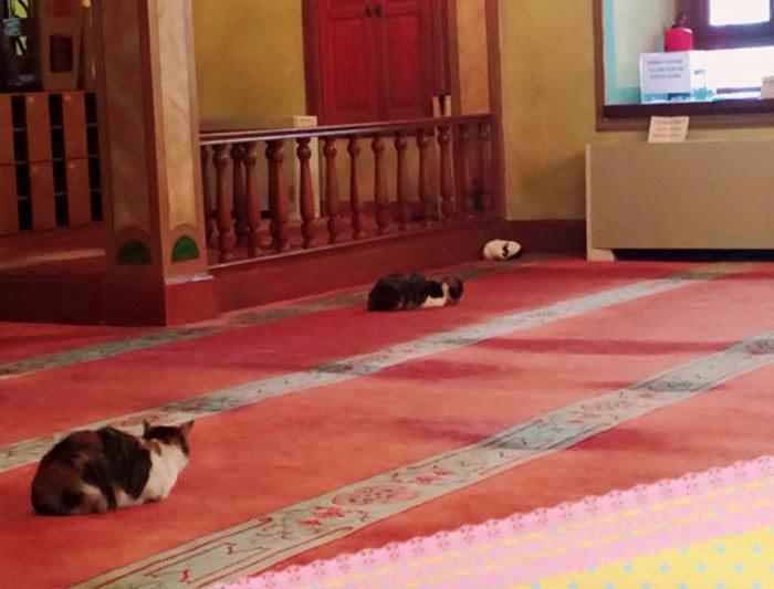 Мечеть Стамбула вновь открывает двери для бездомных кошек