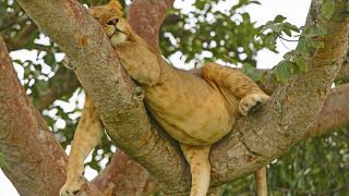 Лев упал с дерева