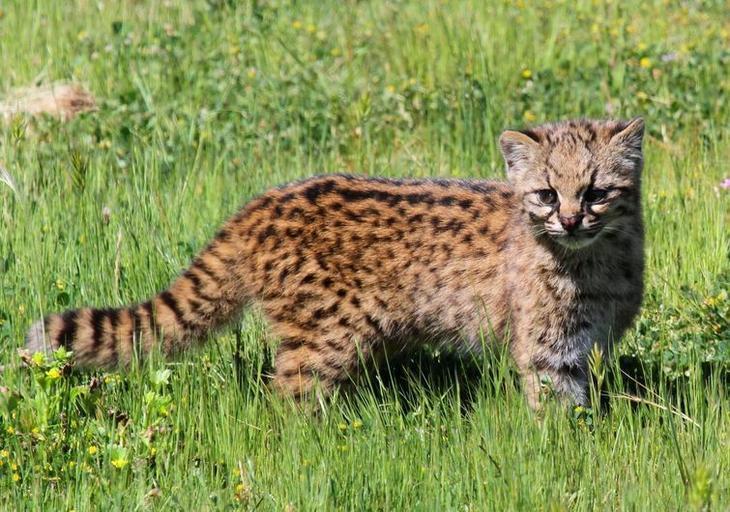 редкие дикие кошки, виды кошек, необычные кошки