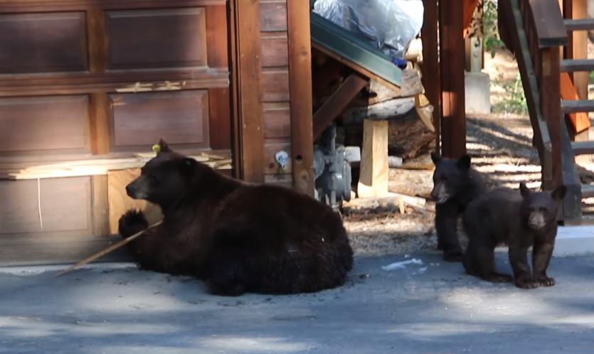 Американцы прогнали медведей…