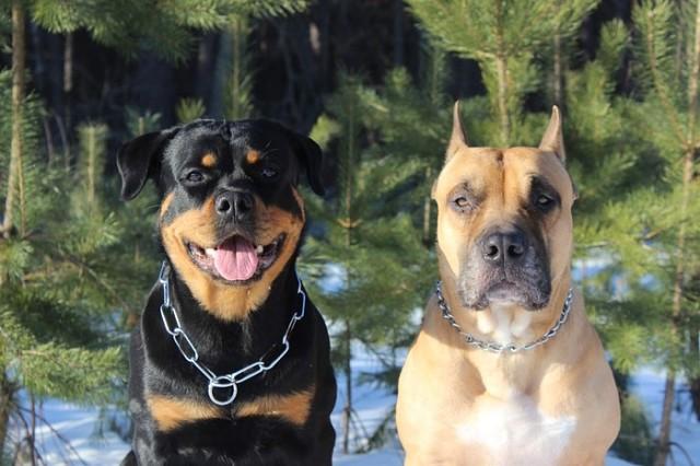 У друга два больших кобеля: ротвейлер и стафф. Однажды на прогулке собаки пришли к нему с подарком