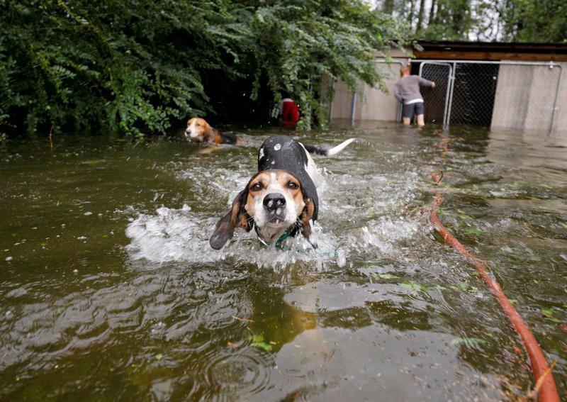 Волонтер спас собак, которые чуть не погибли от наводнения после урагана «Флоренс» видео, животные, собака, собаки, спасение, сша, ураган