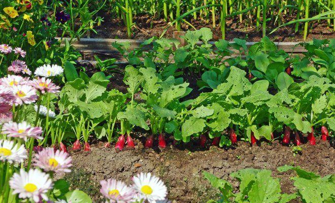 Декоративный огород, или как выращивать цветы и овощи на одной грядке