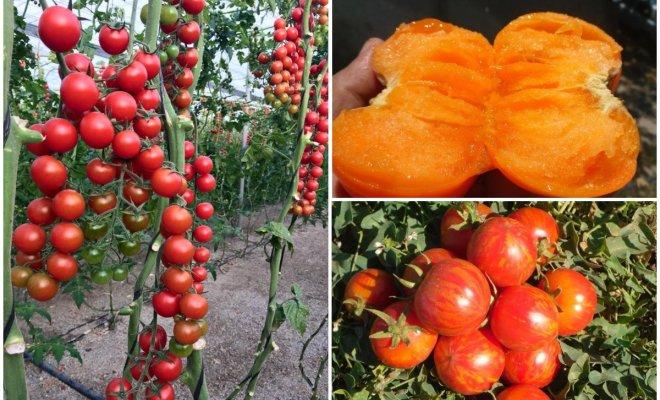 Вкус томата – как не потерять в погоне за разнообразием