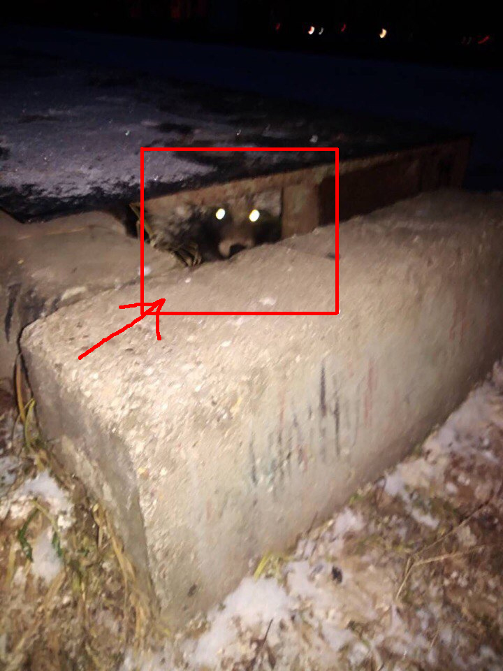 Потерявшуюся енотовидную собаку нашли только через сутки… внутри памятника!