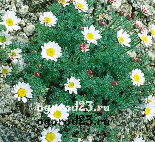 цветы похожие на ромашки 3