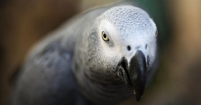 Попугай вылетел из окна и вернулся через 4 года… говорящим по-испански!