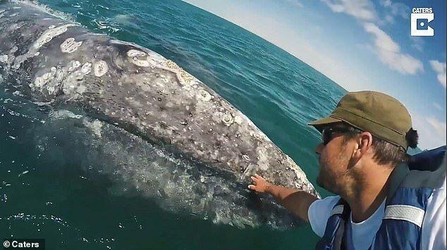 Кристиан Миллер встретился с серыми китами у берегов мексиканской лагуны Сан-Игнасио встреча, детеныш, животные, мексика, серый кит, судно, человек