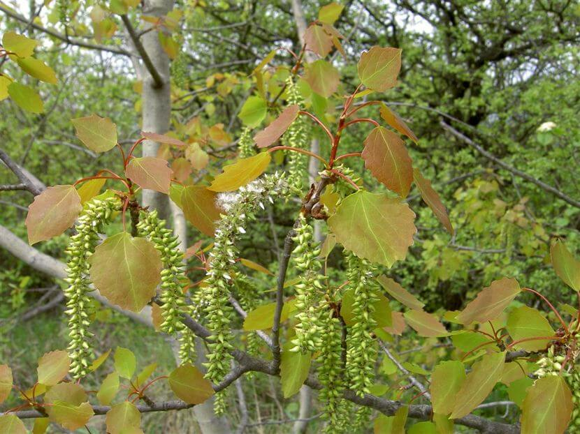Рецепты лечения почками и листьями осины