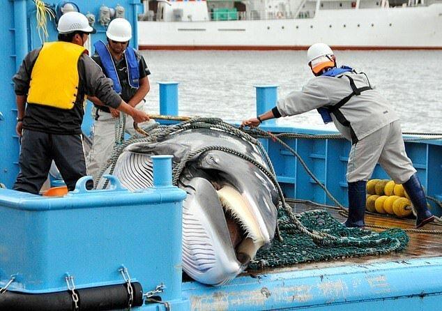 Японцы вновь начинают охоту на китов ynews, китобои, китобойный промысел, киты, международная китобойная комиссия, новости, охрана китов, япония