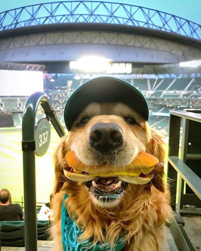 Пёс терпеливо держал во рту хот-дог, пока владелец пытался его сфотографировать бейсбол, еда, животные, прикол, собака, сша, хот-дог