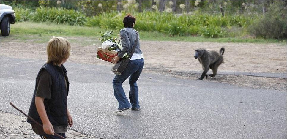 Кейптаунские бабуины...или закон тут бессилен