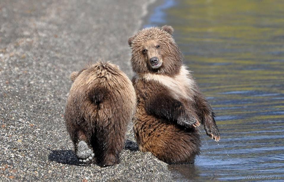Медведица с редким окрасом поселилась на берегу Курильского озера