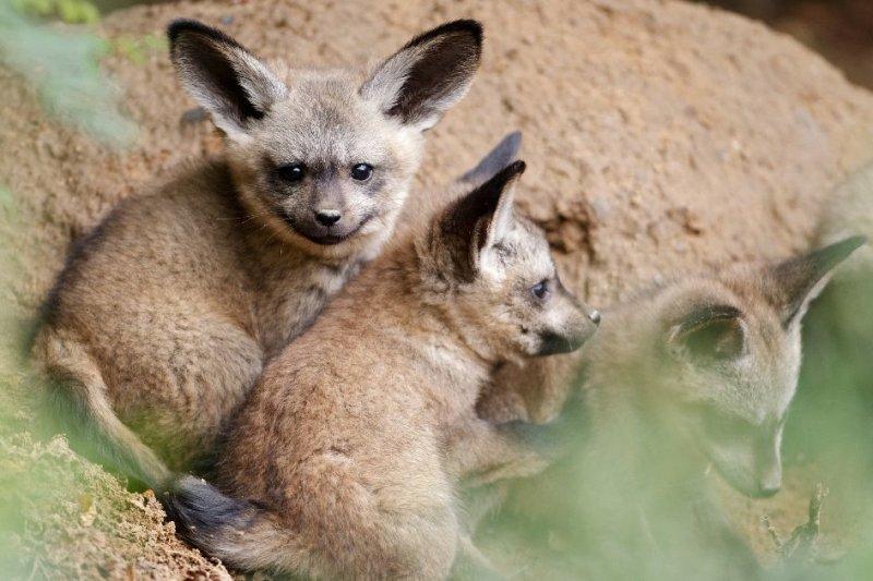 Детеныши редких животных, которых вы вряд ли видели… Детеныши африканской большеухой лисицы. детёныши, интересное, фото