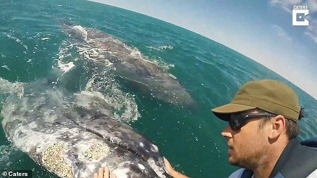 Мать детеныша нисколько не препятствовала его общению с людьми встреча, детеныш, животные, мексика, серый кит, судно, человек