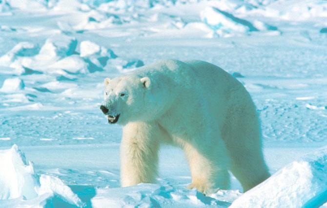 В Канаду за белым медведем